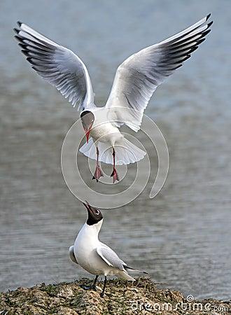 Free Black Headed Gulls - Chroicocephalus Ridibundus Stock Image - 90720971
