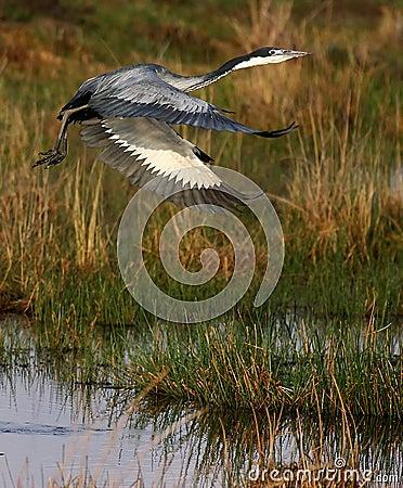 Free Black Headed Heron Royalty Free Stock Photography - 4824797