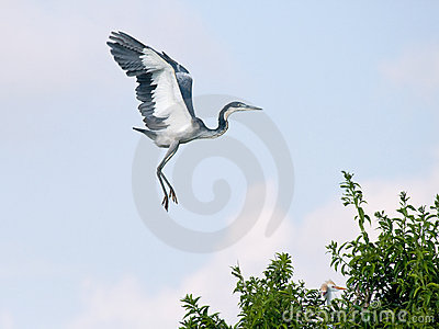 Black headed heron coming in to land