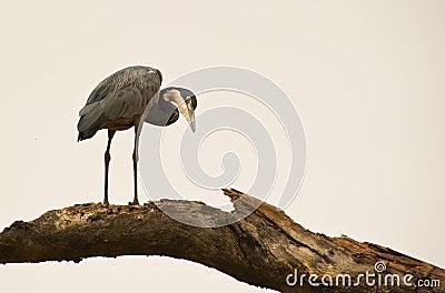 A Black-headed Heron on a log