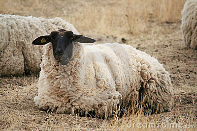 Black Headed Sheep
