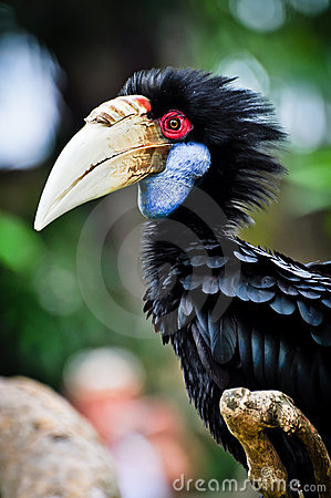 Free Black Hornbill Royalty Free Stock Images - 22016559