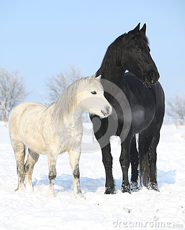 Free Black Horse And White Pony Together Stock Photography - 35567422