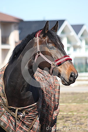 Black horse with checkered coat portrait