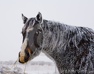 Black horse with frost