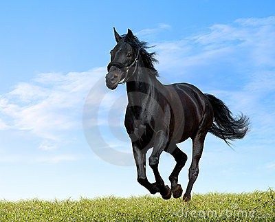 Black horse gallops