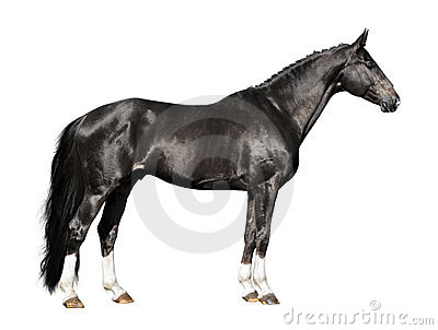 Black horse isolated on the white
