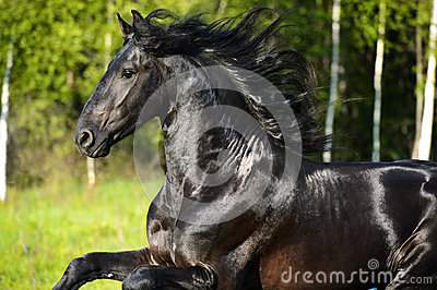 Black horse portrait with beautiful mane in motion