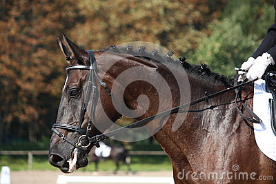 Black horse portrait during dressage competition