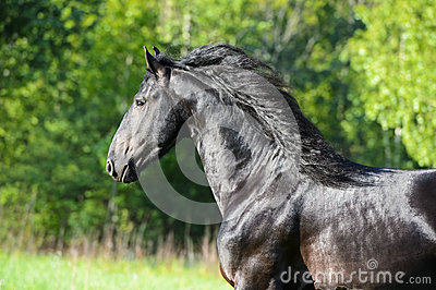 Black horse portrait in motion