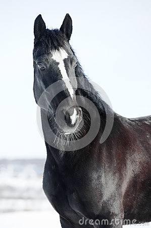 Black horse portrait in winter