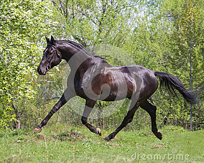 black horse running at a trot