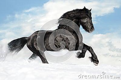 Black horse runs gallop on the snow