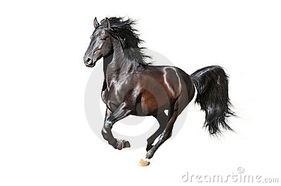 Black horse runs gallop on the white background