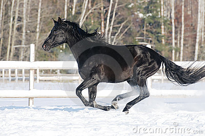 Black horse runs gallop in winter