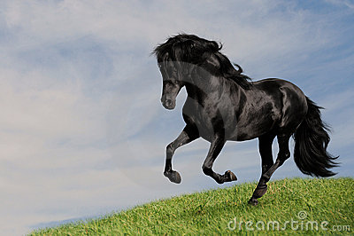 Black horse stallion run gallop om the meadow
