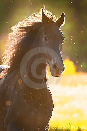 Black horse in sunset golden light