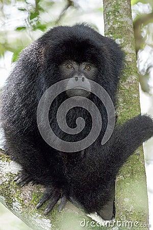 Free Black Howler Monkey Stock Image - 74287551