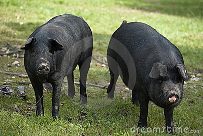 Black Iberian Pig 2