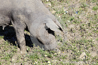 Black Iberian pig on a meadow