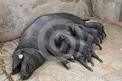 Black Iberian Sow With Suckling  Piglets