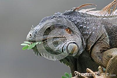 Black Iguana - Roatan, Honduras