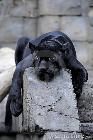 Free Black Jaguar Stock Images - 8474384