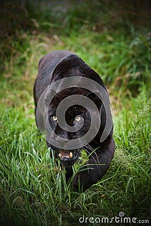 Free Black Jaguar Panthera Onca Prowling Royalty Free Stock Image - 26204426