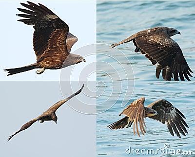 Black kite_03
