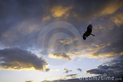 Black kite and cloudy sunset