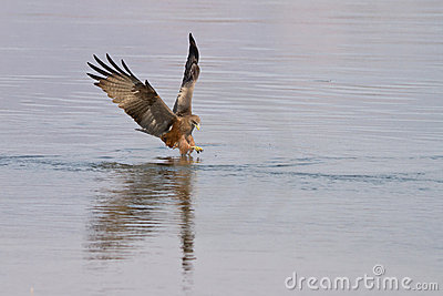 Black kite fishing