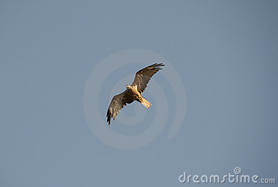Black Kite hovering in the sky