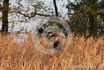 Black Kite Milvus migrans flying