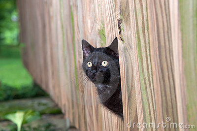 Black kitten peeking through wooden fence
