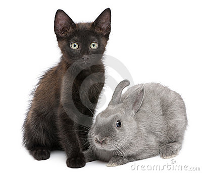 Black kitten playing with rabbit