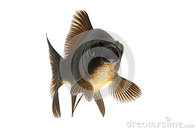 Black koi fish stock photos image 28982603 for All black koi fish