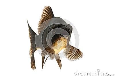 Black Koi Fish