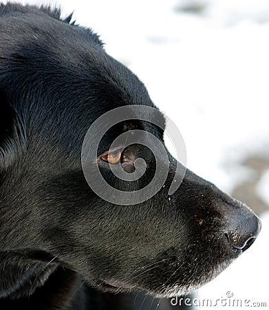 Black Labrador Border Collie Mix