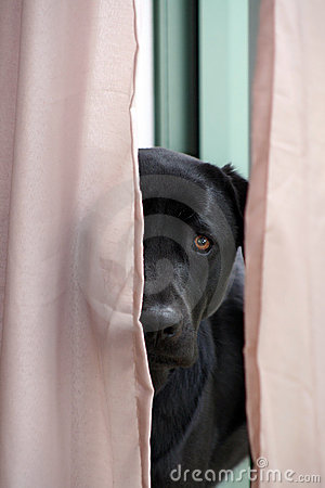 Black Labrador Looking Through Curtains