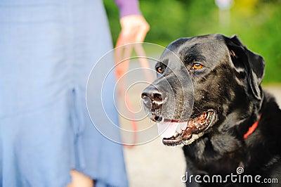 Black Labrador Out For A Walk
