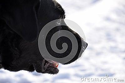 Black Labrador in profile in the snow