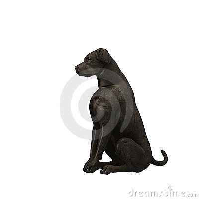 Free Black Labrador Retriever - 01 Stock Photos - 2204183