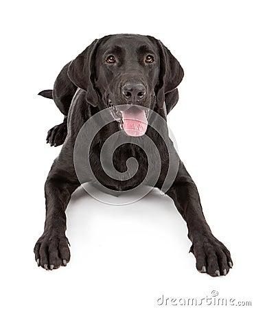 Black Labrador Retriever Dog Laying