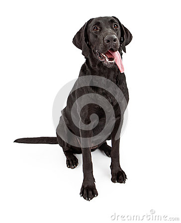 Free Black Labrador Retriever Dog With Tongue Out Royalty Free Stock Photography - 24698767