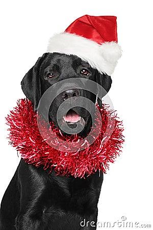 Free Black Labrador Retriever In Santa Christmas Red Hat Royalty Free Stock Photo - 48010765