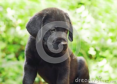 Black labrador retriever puppy in the yard