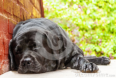Black labrador-retriever resting in the shade