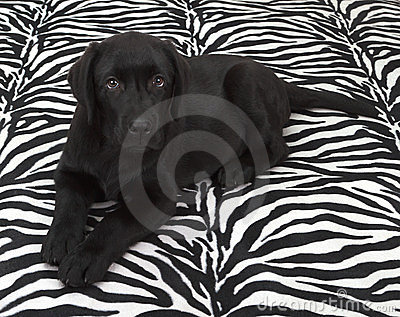 Black labrador retriver puppy