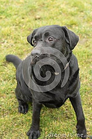 Black Labrador in yard