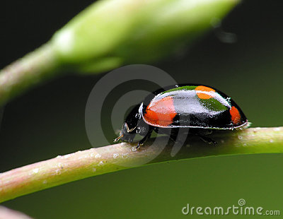 Black Ladybug .